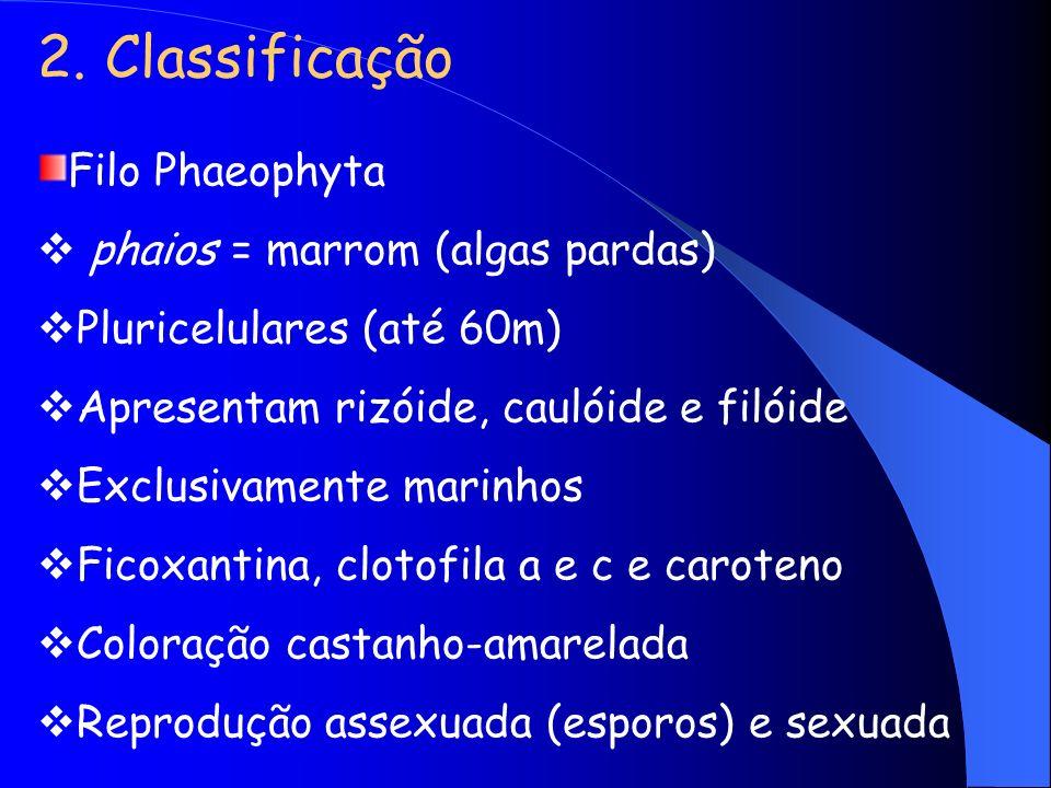 2. Classificação Filo Phaeophyta phaios = marrom (algas pardas)
