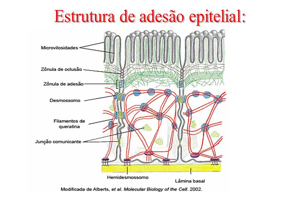 Estrutura de adesão epitelial: