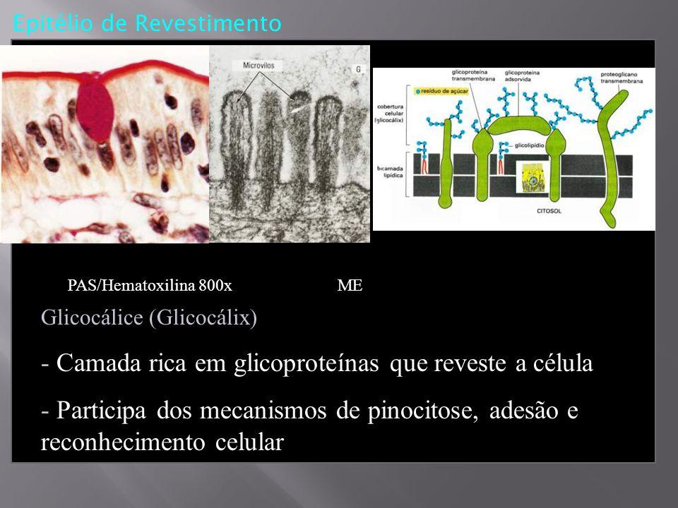 - Camada rica em glicoproteínas que reveste a célula