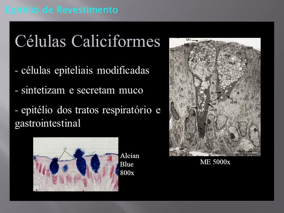 Células Caliciformes - células epiteliais modificadas