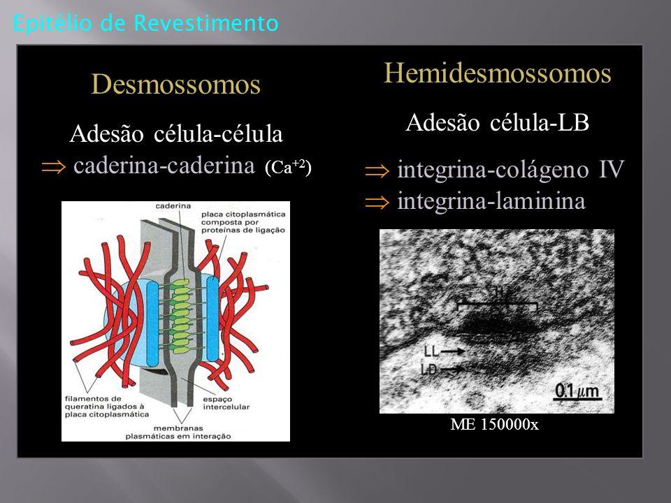 Adesão célula-célula  caderina-caderina (Ca+2)