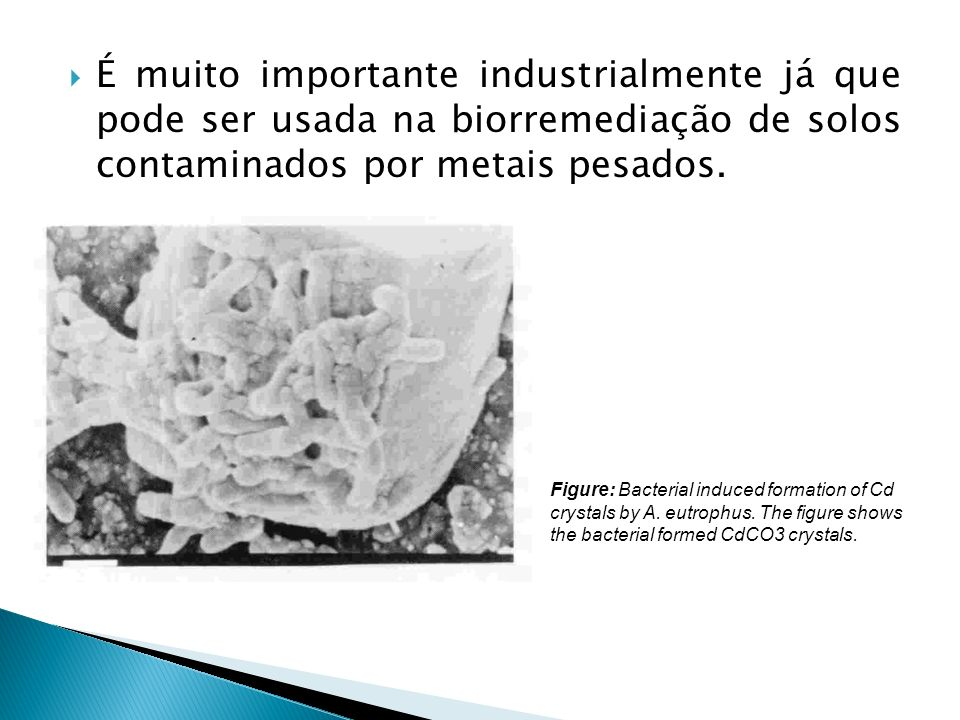 É muito importante industrialmente já que pode ser usada na biorremediação de solos contaminados por metais pesados.