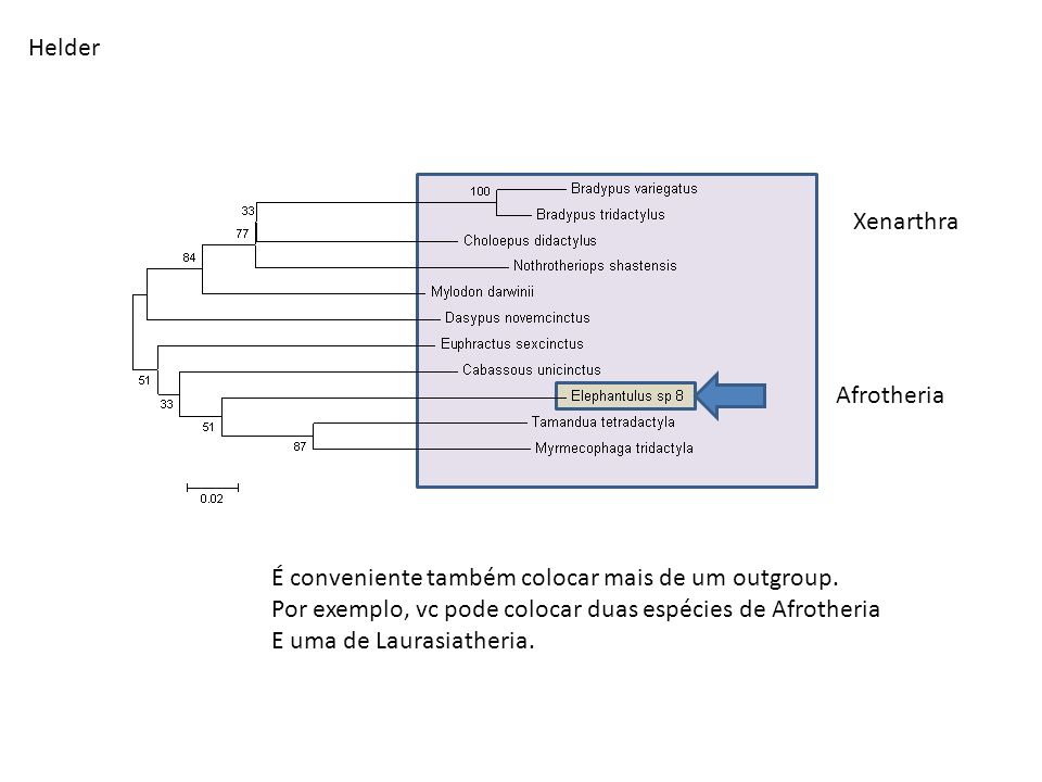Helder Xenarthra. Afrotheria. É conveniente também colocar mais de um outgroup. Por exemplo, vc pode colocar duas espécies de Afrotheria.