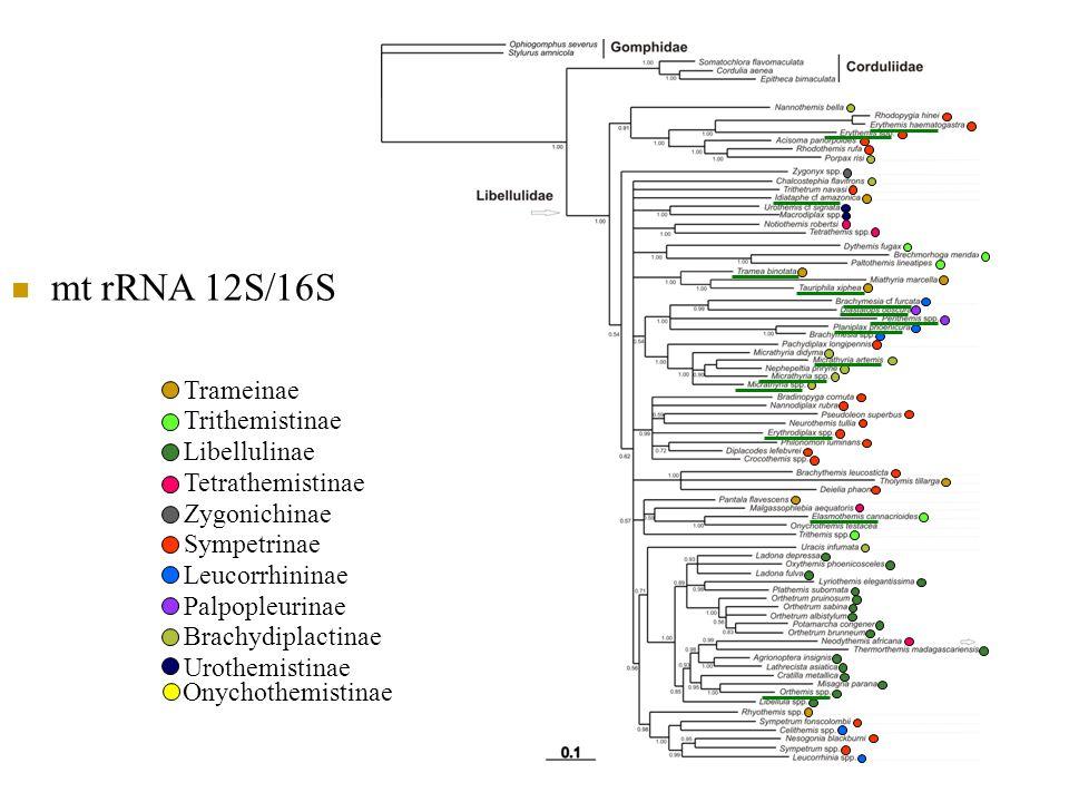 mt rRNA 12S/16S Trameinae Trithemistinae Libellulinae Tetrathemistinae