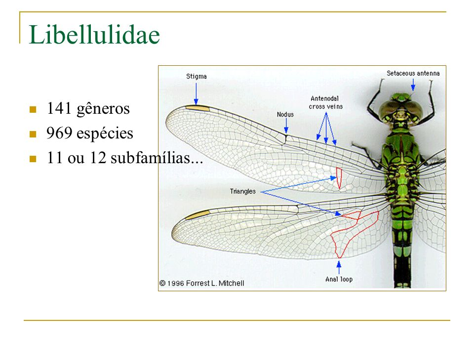 Libellulidae 141 gêneros 969 espécies 11 ou 12 subfamílias...