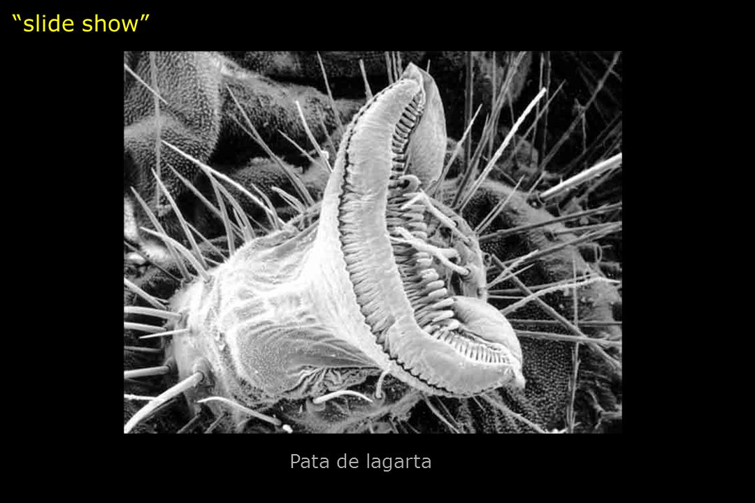 slide show Pata de lagarta