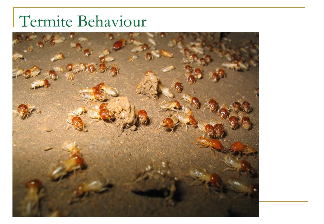 Termite Behaviour