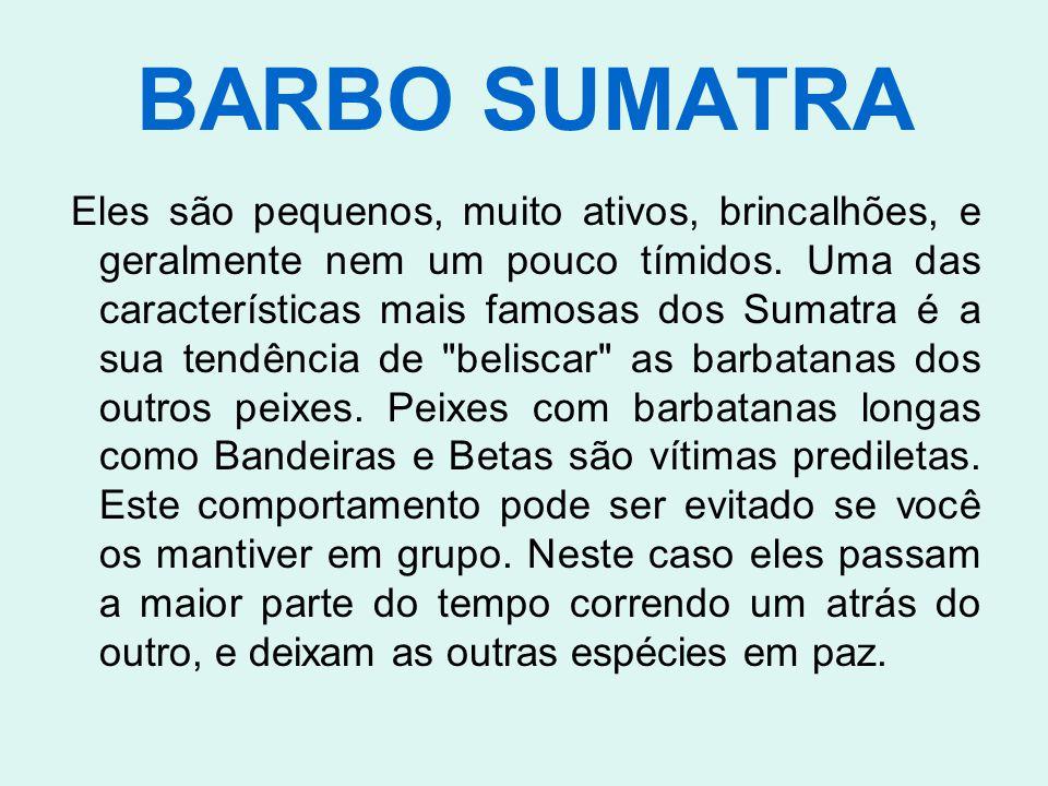 BARBO SUMATRA