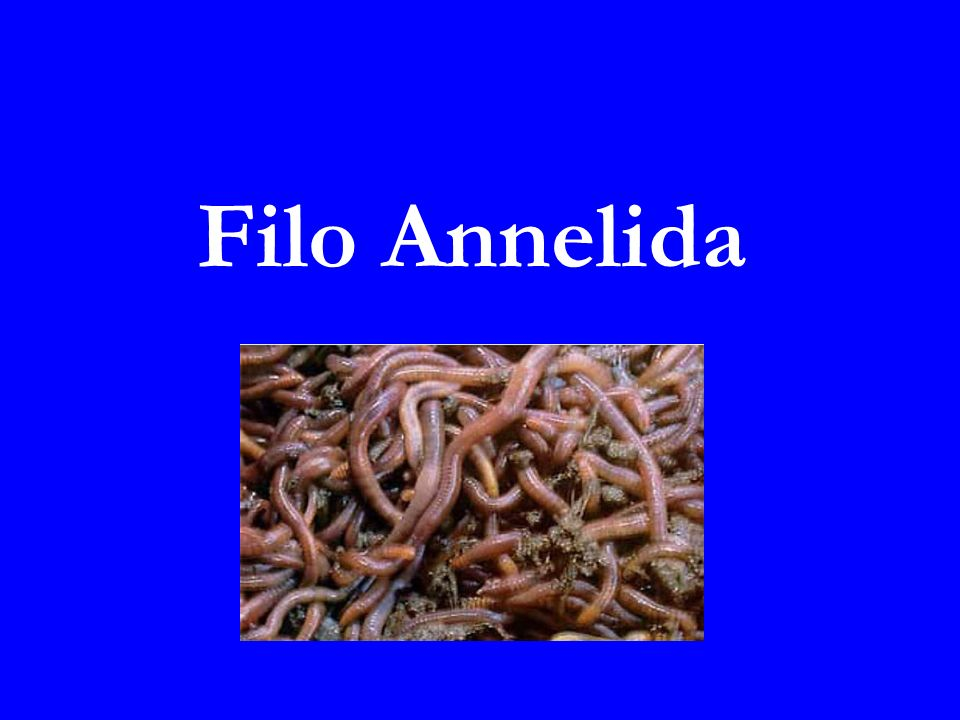 Filo Annelida