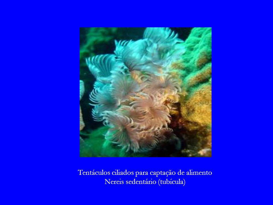 Tentáculos ciliados para captação de alimento