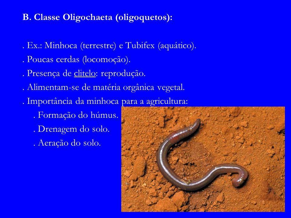 B. Classe Oligochaeta (oligoquetos):