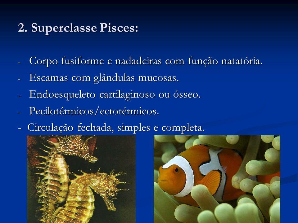 2. Superclasse Pisces:Corpo fusiforme e nadadeiras com função natatória. Escamas com glândulas mucosas.