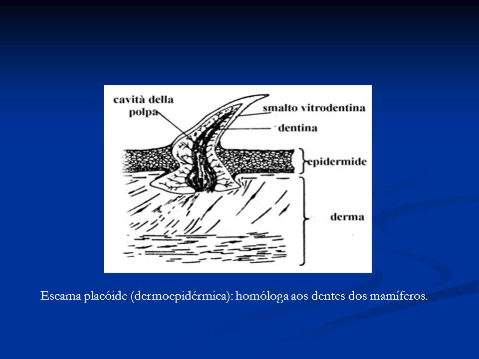 Escama placóide (dermoepidérmica): homóloga aos dentes dos mamíferos.