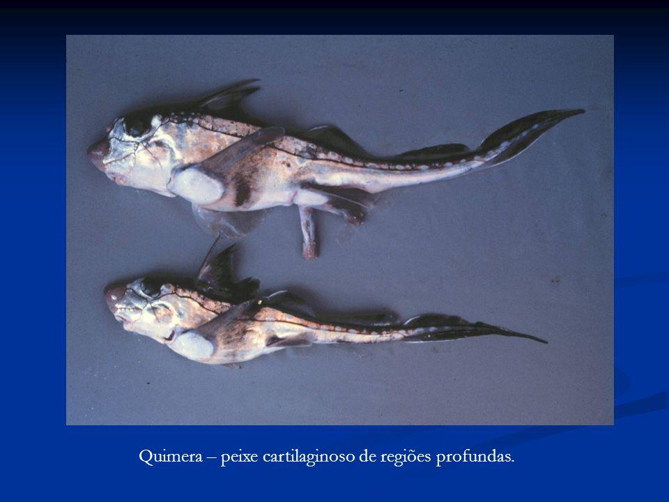 Quimera – peixe cartilaginoso de regiões profundas.