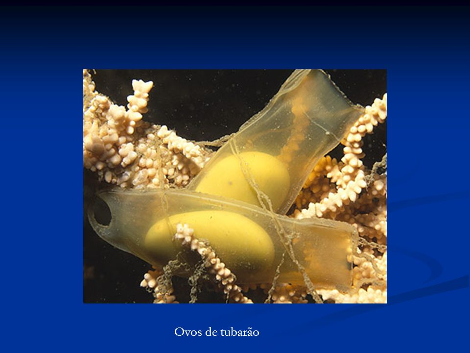 Ovos de tubarão