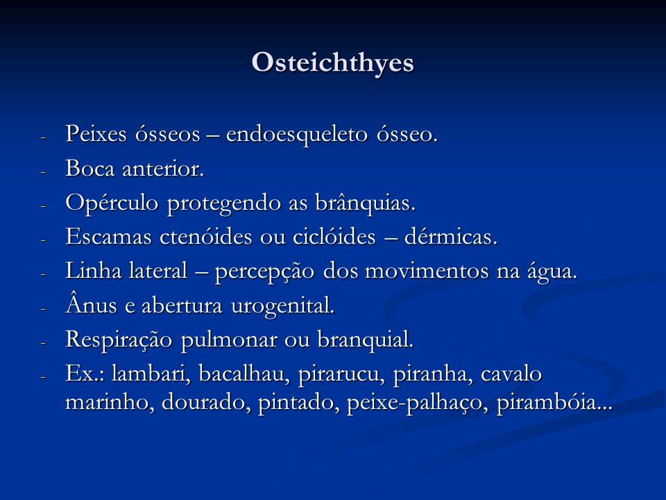 Osteichthyes Peixes ósseos – endoesqueleto ósseo. Boca anterior.