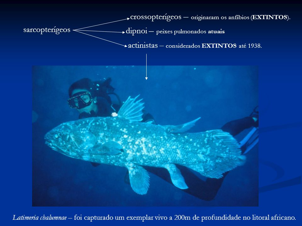 dipnoi – peixes pulmonados atuais