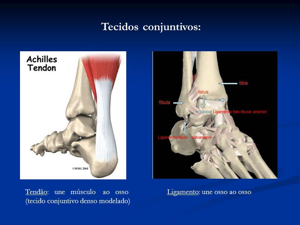 Tecidos conjuntivos: Tendão: une músculo ao osso