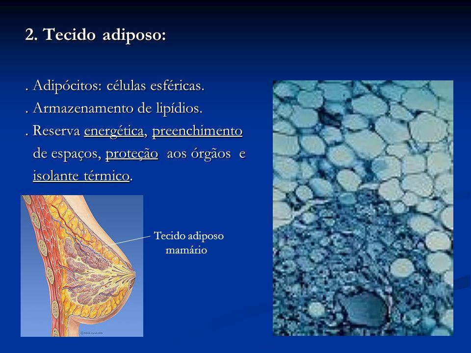 2. Tecido adiposo: . Adipócitos: células esféricas.