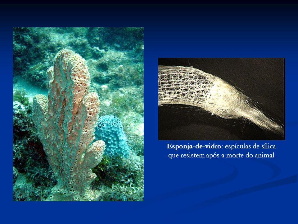 Esponja-de-vidro: espículas de sílica