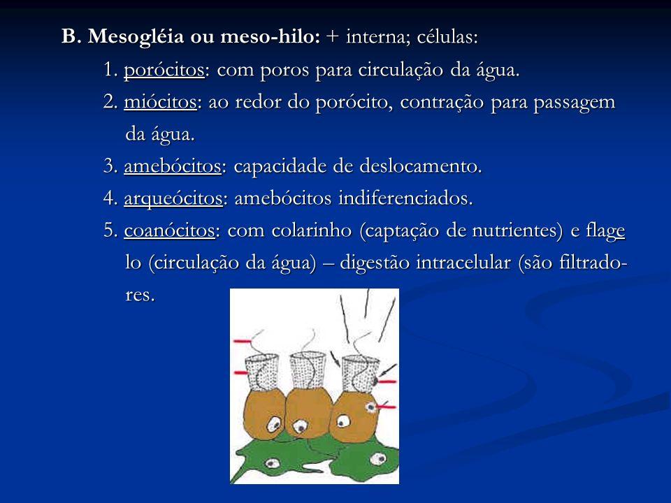 B. Mesogléia ou meso-hilo: + interna; células: