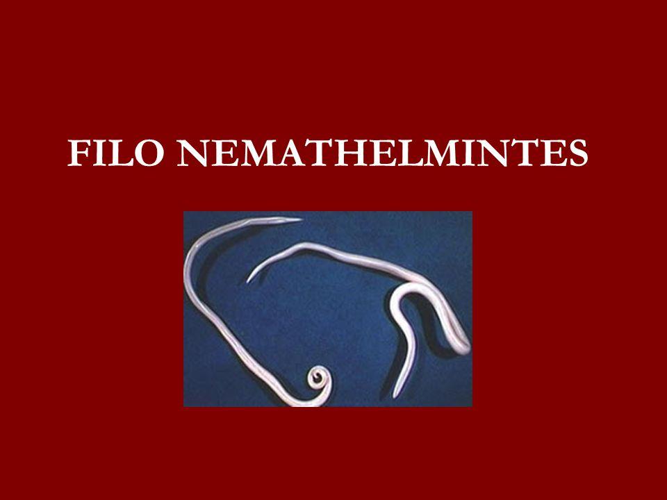 FILO NEMATHELMINTES