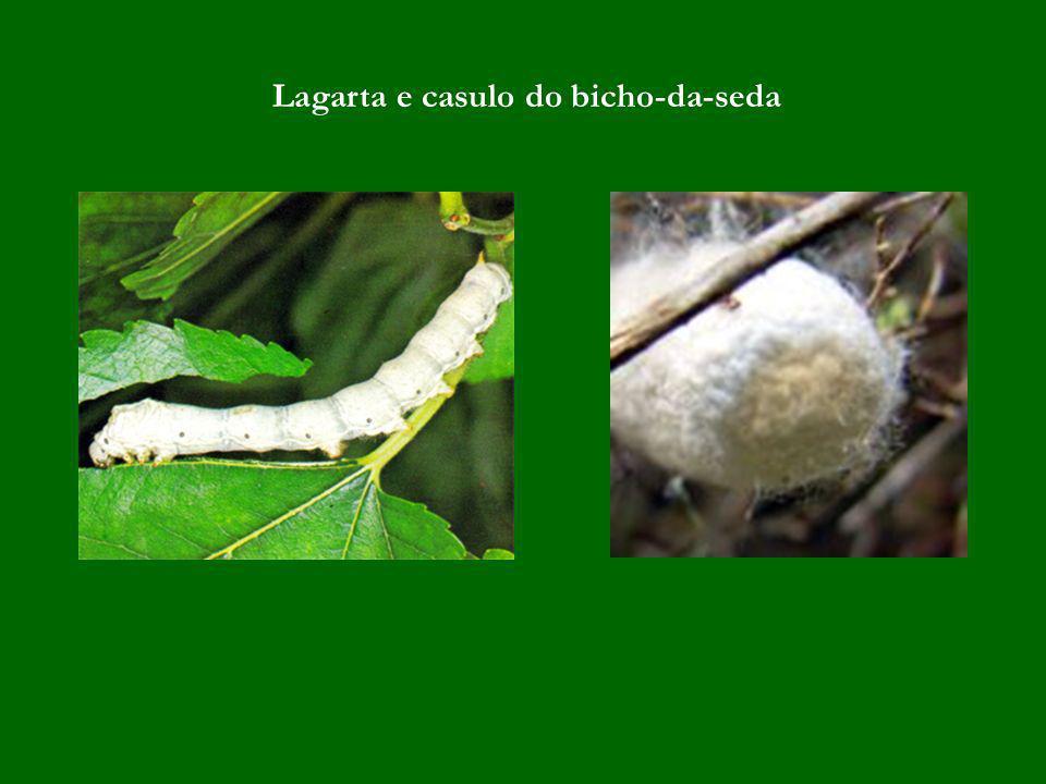 Lagarta e casulo do bicho-da-seda