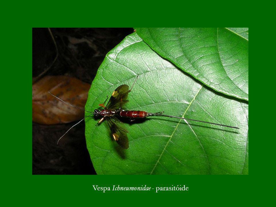 Vespa Ichneumonidae - parasitóide