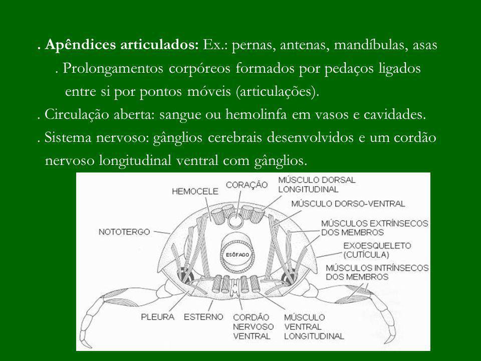 . Apêndices articulados: Ex.: pernas, antenas, mandíbulas, asas