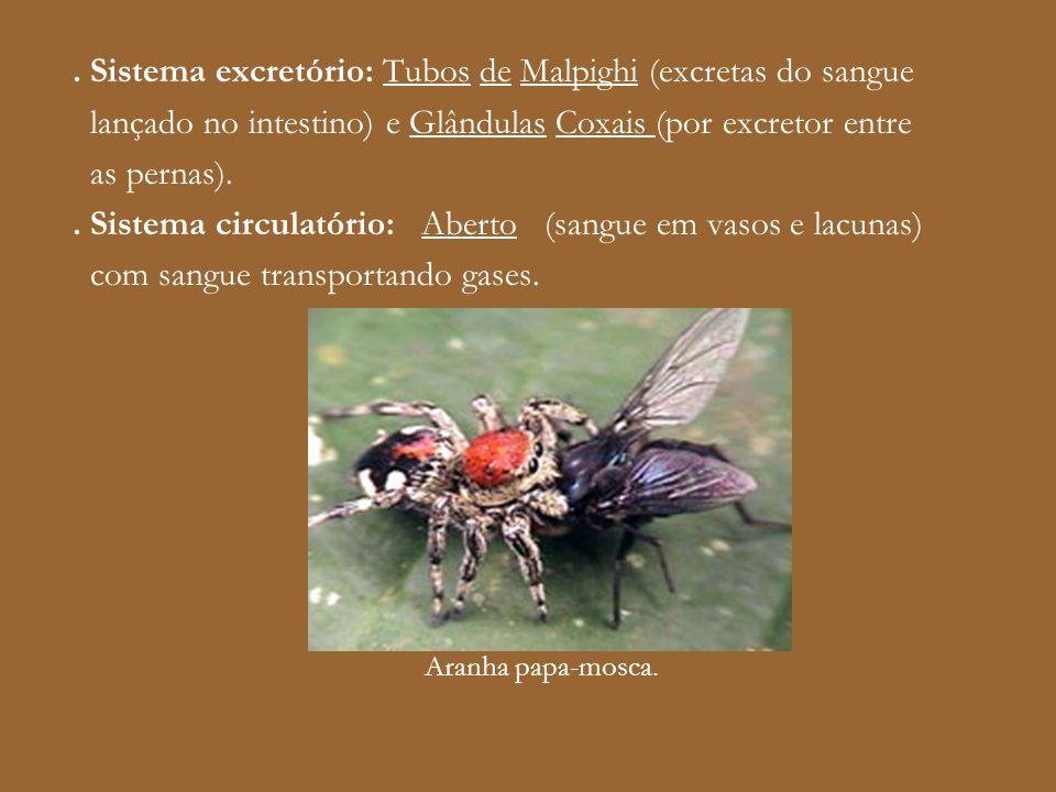 . Sistema excretório: Tubos de Malpighi (excretas do sangue