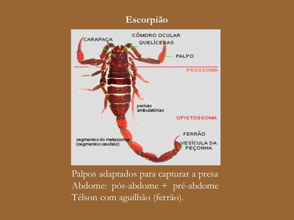 Escorpião Palpos adaptados para capturar a presa. Abdome: pós-abdome + pré-abdome.