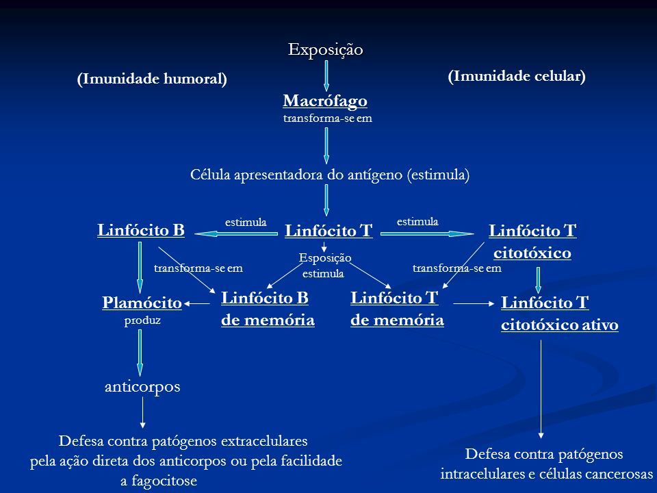 Célula apresentadora do antígeno (estimula)