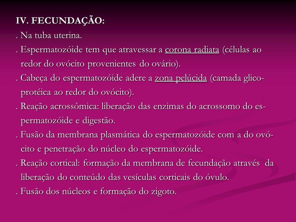 IV. FECUNDAÇÃO:. Na tuba uterina. . Espermatozóide tem que atravessar a corona radiata (células ao.