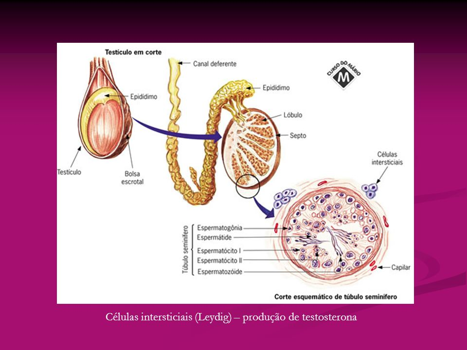 Células intersticiais (Leydig) – produção de testosterona