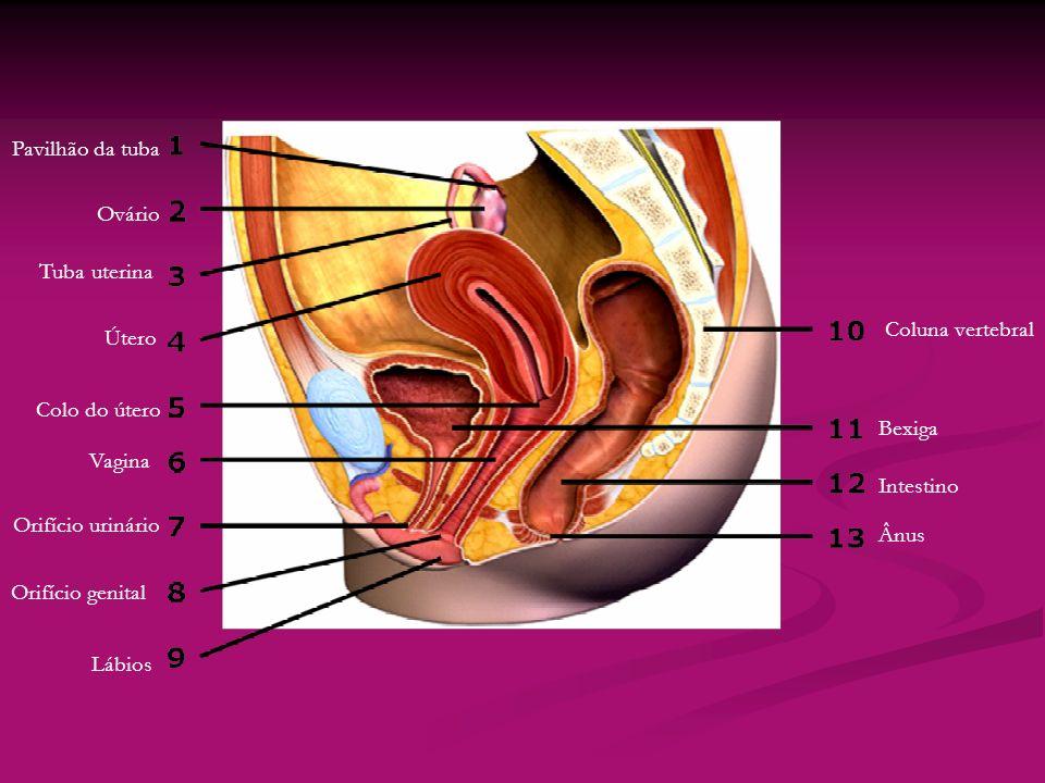 Pavilhão da tuba Ovário. Tuba uterina. Coluna vertebral. Útero. Colo do útero. Bexiga. Vagina.
