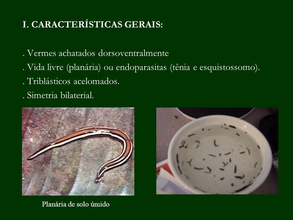 I. CARACTERÍSTICAS GERAIS: . Vermes achatados dorsoventralmente
