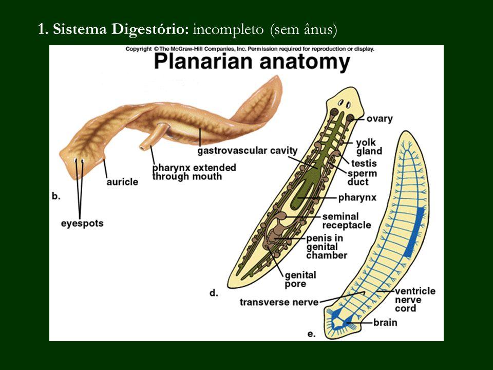 1. Sistema Digestório: incompleto (sem ânus)