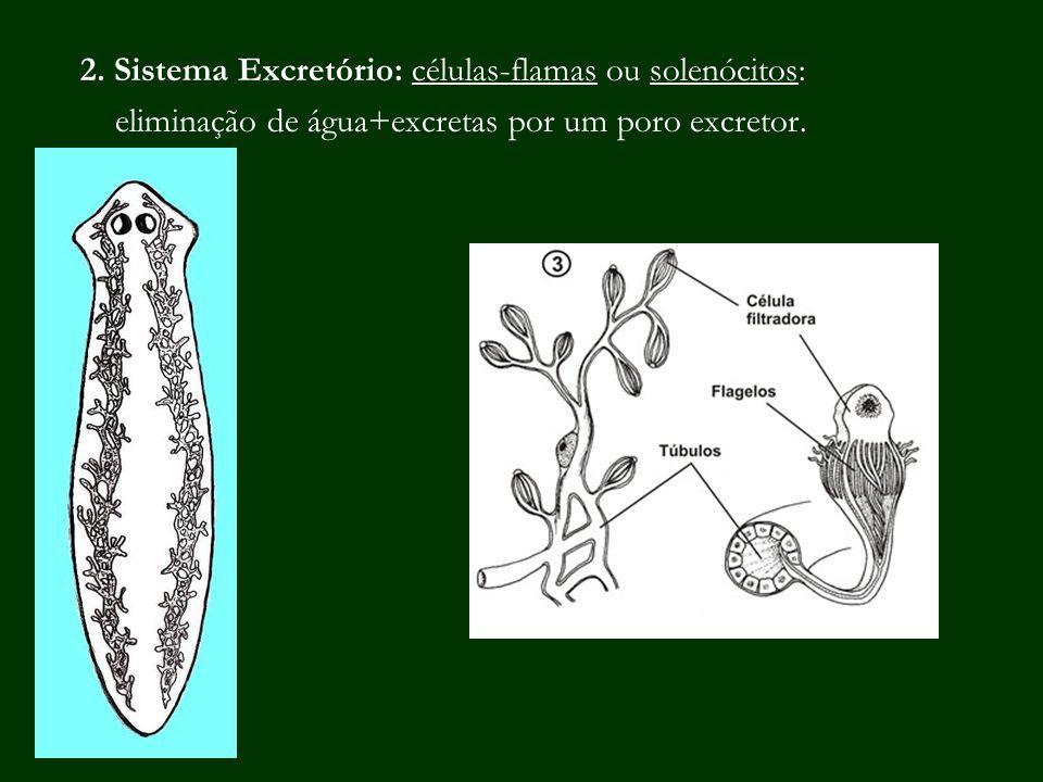 2. Sistema Excretório: células-flamas ou solenócitos: