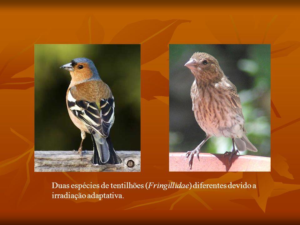 Duas espécies de tentilhões (Fringillidae) diferentes devido a