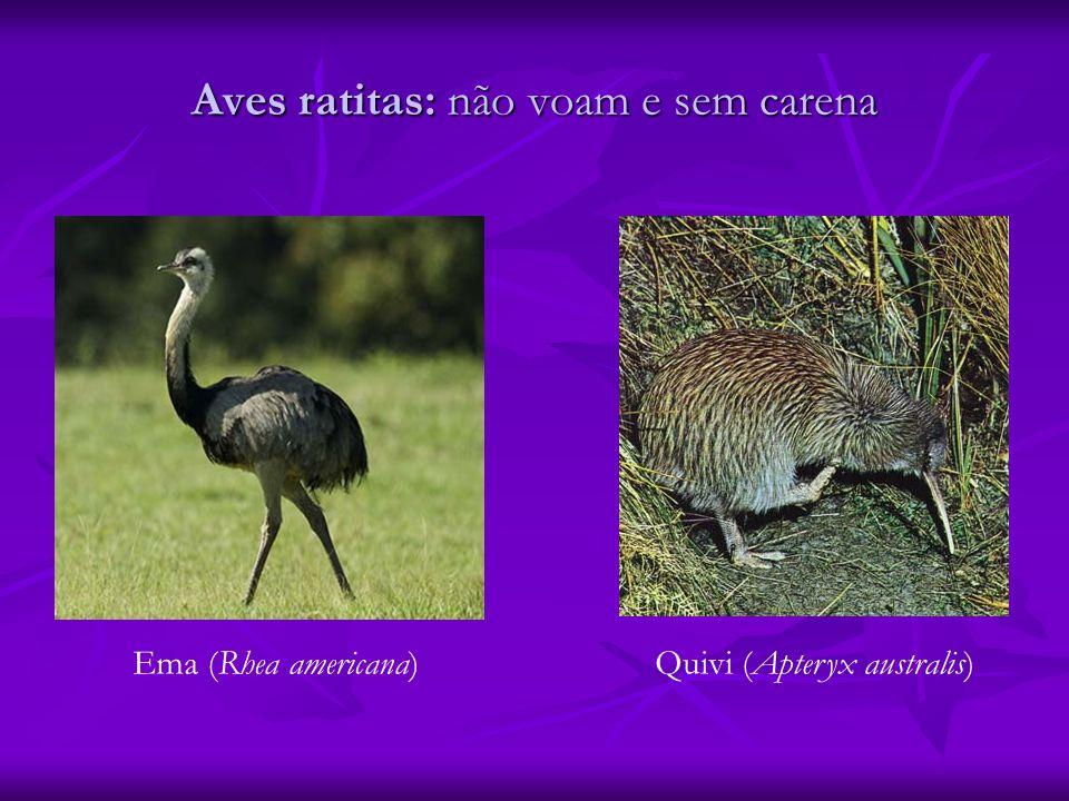 Aves ratitas: não voam e sem carena