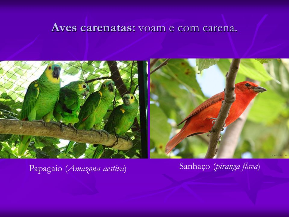Aves carenatas: voam e com carena.