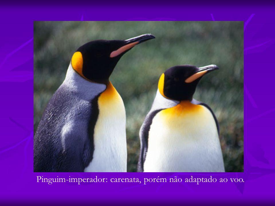 Pinguim-imperador: carenata, porém não adaptado ao voo.