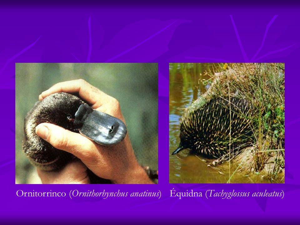Ornitorrinco (Ornithorhynchus anatinus)