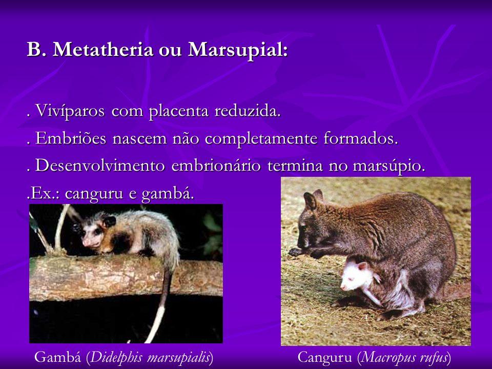 B. Metatheria ou Marsupial: