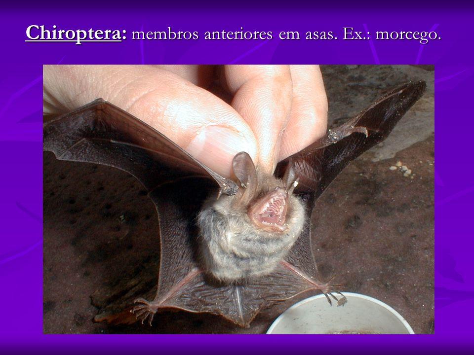 Chiroptera: membros anteriores em asas. Ex.: morcego.