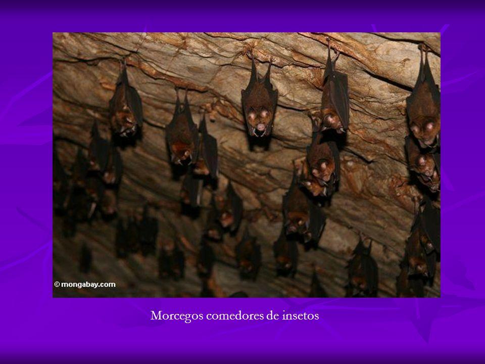 Morcegos comedores de insetos