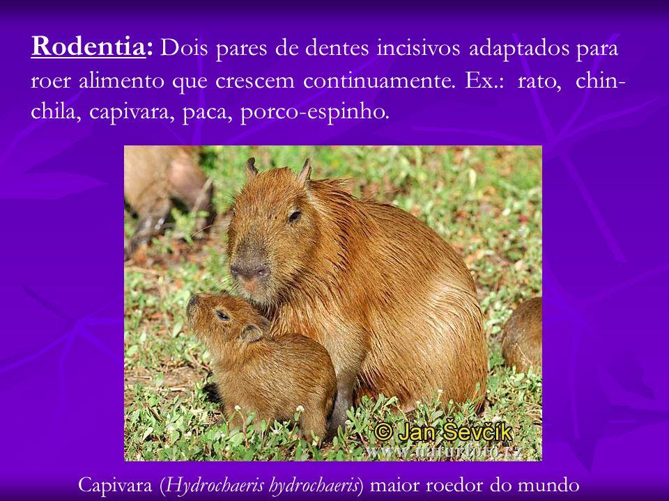 Rodentia: Dois pares de dentes incisivos adaptados para roer alimento que crescem continuamente. Ex.: rato, chin-