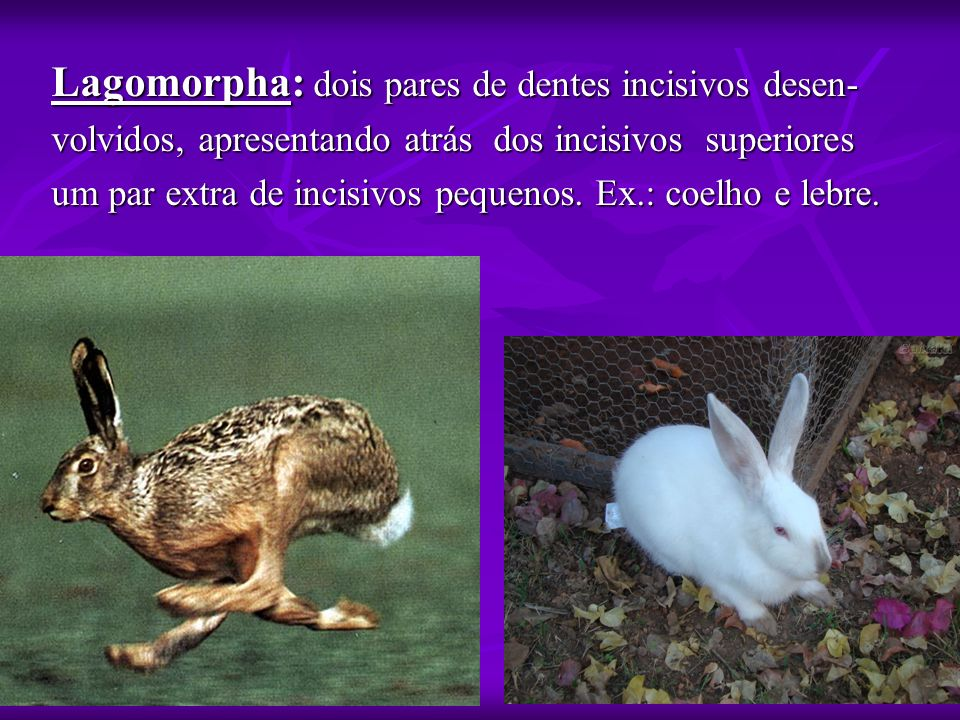 Lagomorpha: dois pares de dentes incisivos desen-