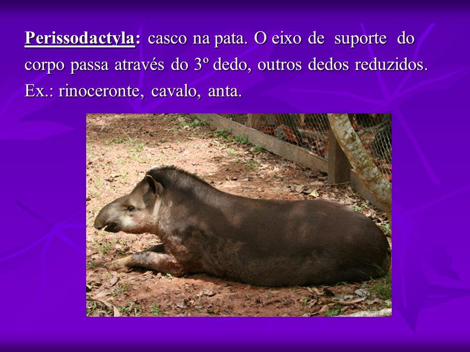 Perissodactyla: casco na pata. O eixo de suporte do