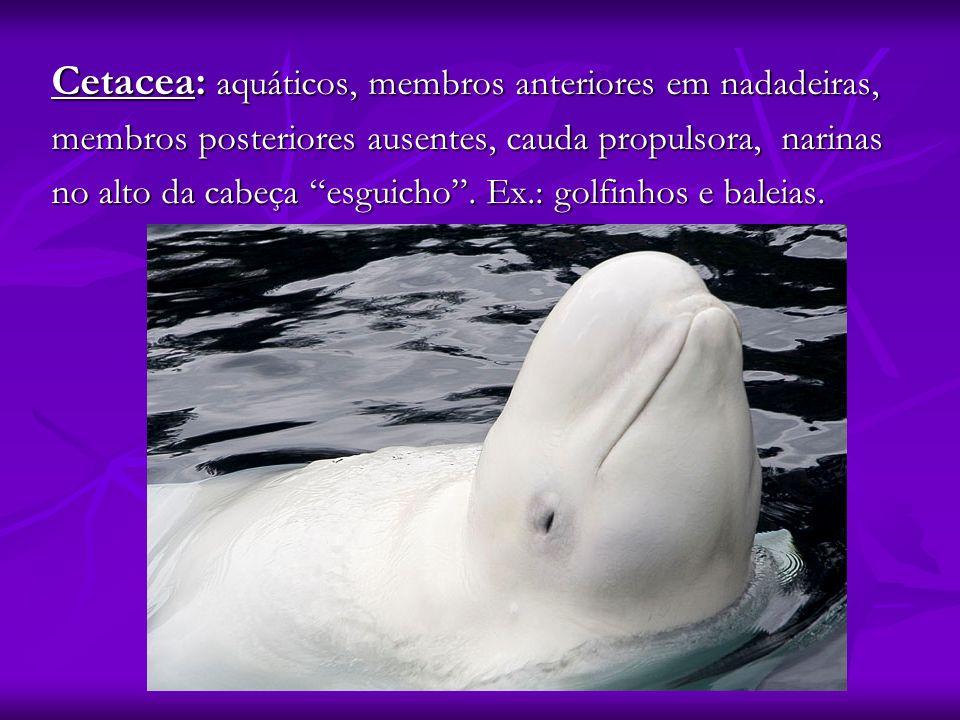 Cetacea: aquáticos, membros anteriores em nadadeiras,